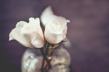 Vintage white roses in clear glass vase with purple background, shallow DOF